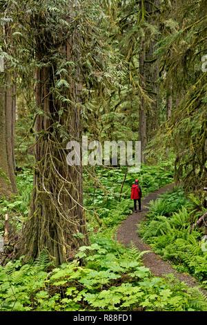 WA15505-00...WASHINGTON - Randonneur dans la forêt pluviale tempérée le long de l'ancienne mine Trail accessible à partir de la route de la rivière de carbone/Trail à Mount Rainier National Park Banque D'Images
