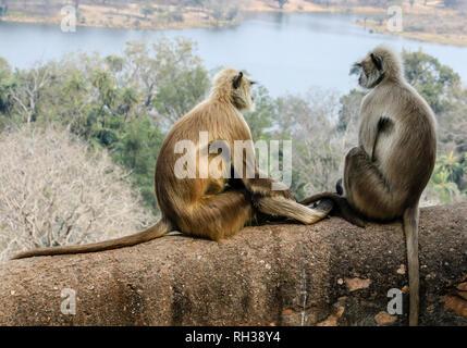 2 Gray langur / animaux Singe Hanuman langur (Semnopithecus) singes semblent parler au parc national de Ranthambore, Sawai Madhopur, Rajasthan, Inde Banque D'Images