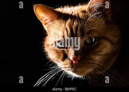 Chat Orange regardant la caméra; éclairé par un soleil éclatant sur un côté; fond sombre Banque D'Images