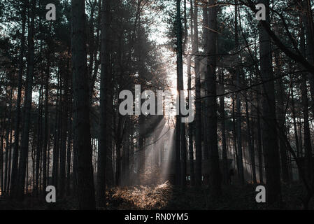 Les rayons du soleil à travers les arbres dans la forêt de Sherwood Banque D'Images