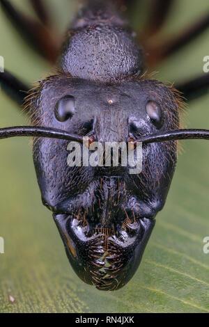 Forêt géant Ant, Camponotus gigas, Bornéo plus grande espèce de fourmis sur la terre… (tête est à environ 3/8 po de hauteur) Banque D'Images