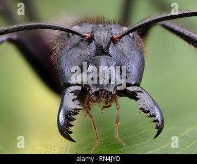 """Forêt géant Ant, Camponotus gigas, Bornéo plus grande espèce de fourmis sur la terre… (environ 1"""" de long) Banque D'Images"""