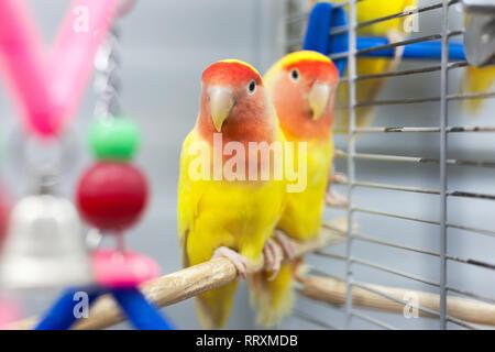 Deux tourtereaux colorées en jaune et rouge.. troplical animaux domestiques. Banque D'Images