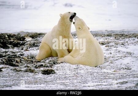 L'ours polaire (Ursus maritimus) playfighting sur tundra près de Churchill Manitoba peut Banque D'Images