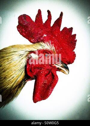 Coq. Banque D'Images