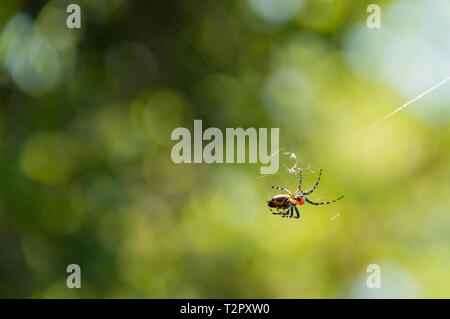 Close up of little spider hanging on tropical forest Banque D'Images