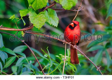 Le Cardinal mâle rouge vif assis sur une vigne en Floride en hiver Banque D'Images