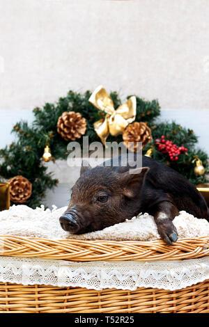 L'un des porcs de race noire vietnamiens se trouve dans un panier en osier près de la décoration de Noël. Concept de la nouvelle année. Banque D'Images