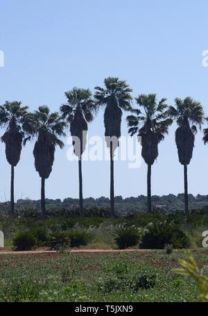 Palmiers dans une rangée avec les lignes de haute isolé abstrait Banque D'Images
