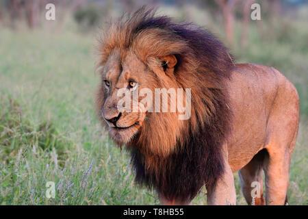 La crinière sombre mature mâle dominant lion Panthera leo patrouiller le territoire du Parc National Kruger en Afrique du Sud Banque D'Images
