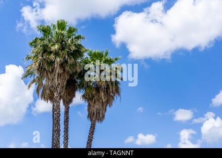 Palmiers sur un ciel bleu et des nuages blancs de fond, en Californie Banque D'Images