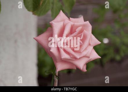 Rose rose jardin en fleurs Banque D'Images