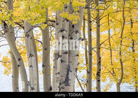 Les arbres avec des couleurs d'automne, Kootenay Plains, Alberta, Canada Banque D'Images