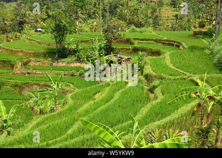 Terrasse de riz Jatiluwih, Bali, Indonésie, Asie Banque D'Images