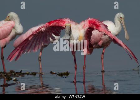 Des profils Roseate Spoonbill (Platalea ajaja) stretching et ailes de séchage après le bain dans l'eau peu profonde; spatules immatures en arrière-plan. Comté de Sarasota, Floride, USA, avril. Banque D'Images