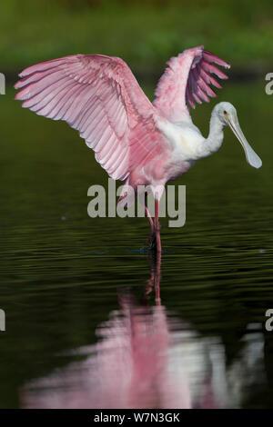 Sous-adultes (Roseate Spoonbill Platalea ajaja) étend ses ailes dans l'eau peu profonde. Comté de Sarasota, Floride, USA, avril. Banque D'Images