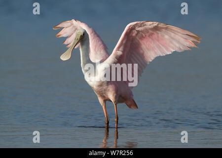 Roseate spoonbill Platalea ajaja (juvénile), étirements ailes à bord de rivière, à Sarasota, Floride, USA, Janvier Banque D'Images