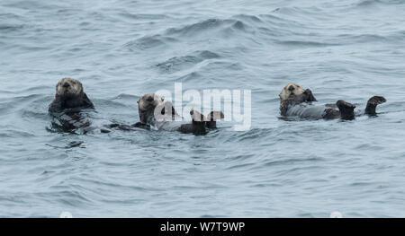Trois loutres de mer (Enhydra lutris) au repos dans la baie Sitka, Alaska, USA, août. Banque D'Images
