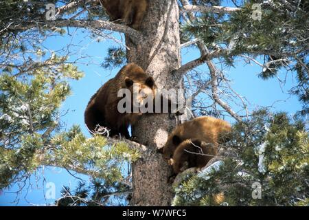 Maman ours et d'oursons emprisonné dans un arbre à la station de ski de prairies alpines, CA, USA Banque D'Images