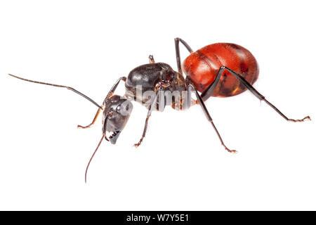 Ant des forêts géantes (Camponotus gigas) Danum Valley, Sabah, Bornéo. Banque D'Images
