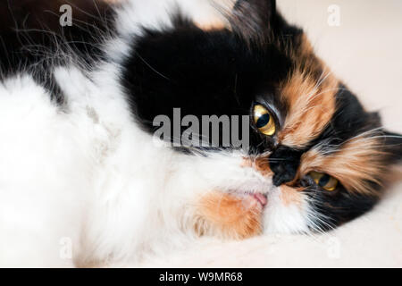 Close-up d'un beau chat persan femelle tricolore portant sur le côté Banque D'Images