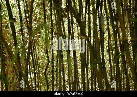 Forêt de bambous Jardin japonais Banque D'Images