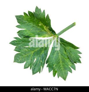 Vert feuille de céleri-rave, Apium graveolens var rapaceum) découpe de plantes sur fond blanc Banque D'Images