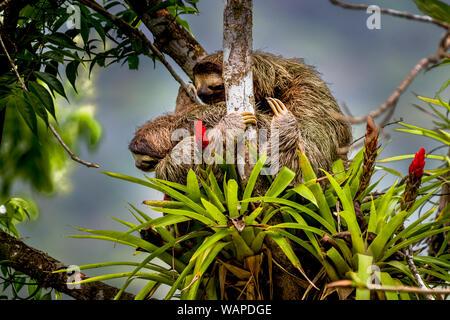 Brown-throated sloth (Bradypus variegatus) trois ia-toed sloth avec ses jeunes de grimper un arbre image prise dans la forêt tropicale de Panama Banque D'Images