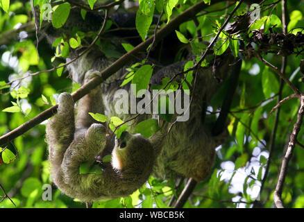 Mignon bébé paresseux tridactyle et sa mère en nature de la Guyane française sur fond de jungle verte Banque D'Images