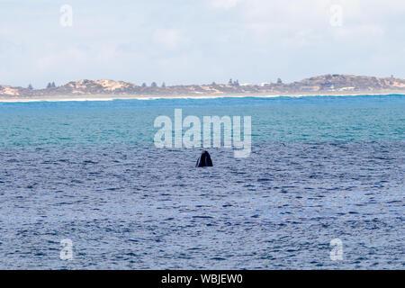La tête d'une baleine de l'eau à Port Elliot beach Australie du Sud le 27 août 2019 Banque D'Images