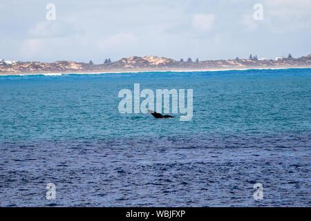 La queue d'une baleine de l'eau à Port Elliot beach Australie du Sud le 27 août 2019 Banque D'Images