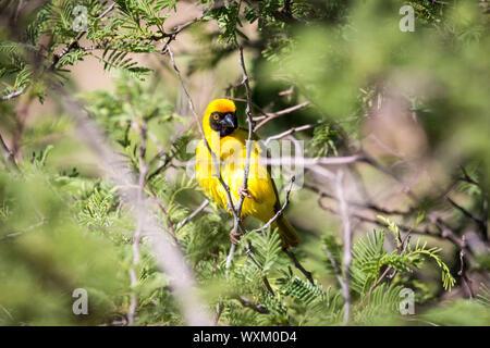 Un masque jaune Weaver assis sur un arbre Banque D'Images