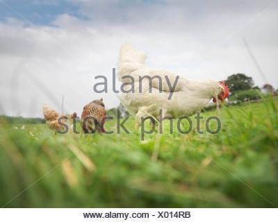 Poules sur terrain Banque D'Images