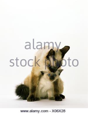 Chat domestique balinais, Mère avec chaton assis contre fond blanc Banque D'Images