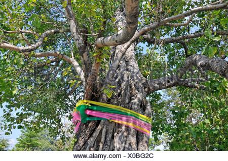 Morceaux de tissu nouée autour d'un arbre de Bodhi, Wat Arun (temple de l'aube), Bangkok, Thaïlande, Asie du Sud-Est Banque D'Images