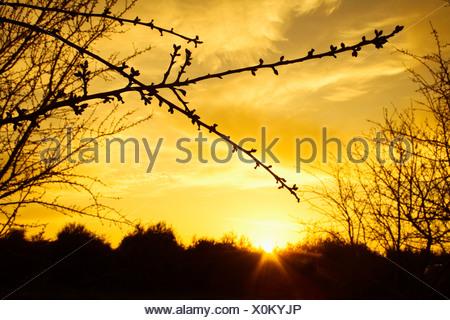Les branches avec des bourgeons gonflés d'Amande juste avant le débourrement silhouetté par le coucher de soleil / près de Corning, Californie, USA. Banque D'Images