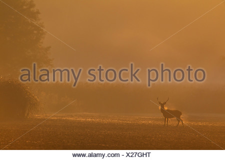 Red Deer (Cervus elaphus), stag sur un champ dans la brume du matin, l'Allemagne, la Saxe, Syd Banque D'Images