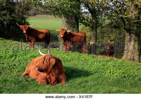 Wesel, Allemagne , Scottish Highland cattle Banque D'Images