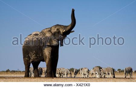 L'éléphant et des zèbres au point d'Etosha National Park, Namibie Banque D'Images