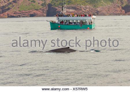Baleine à bosse (Megaptera novaeangliae), et les observateurs de baleines, la réserve écologique de Witless Bay, Newfoundland, Canada Banque D'Images
