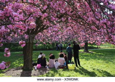 Les fleurs de cerisier dans parc de Sceaux. Banque D'Images