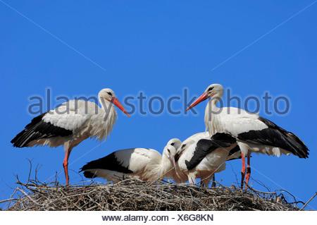 Cigognes blanches (Ciconia ciconia), paire avec de jeunes oiseaux dans le nid, Rhénanie du Nord-Westphalie Banque D'Images