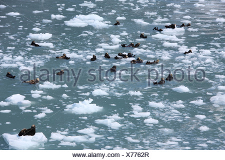 Loutre de mer (Enhydra lutris), à Prince William Sound, Alaska, USA Banque D'Images