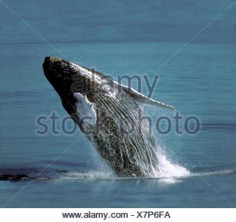 Baleine à bosse - Megaptera novaeangliae Banque D'Images