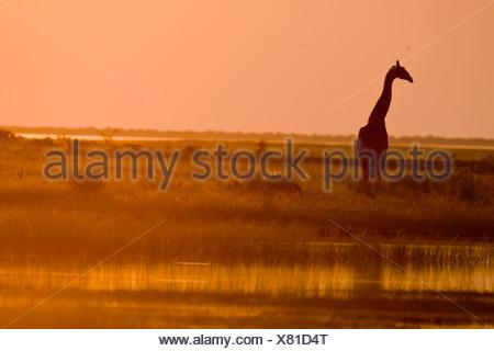 Une girafe en bord de l'eau comme le soleil commence à définir. Banque D'Images