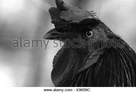 Portrait Of Rooster Banque D'Images