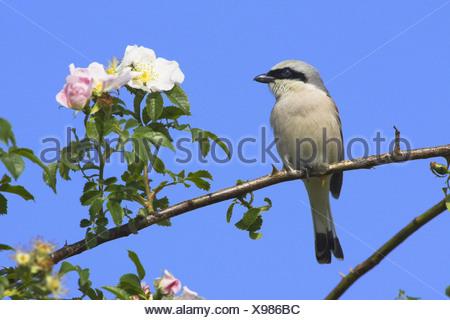 Pie-grièche écorcheur (Lanius collurio), assis sur une branche de rose, Allemagne Banque D'Images