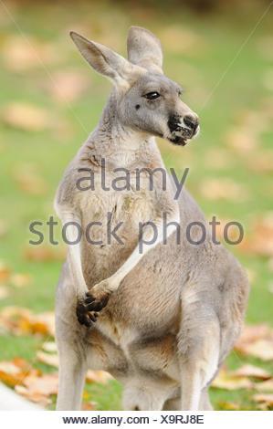 Kangourou rouge, Macropus rufus, vue de face, assis, à la droite, Banque D'Images