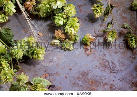 Branches fraîches et les cônes de houblon vert et les oreilles d'orge plus vieux métal arrière-plan. Concept de la bière. Avec copie espace à gauche. Banque D'Images