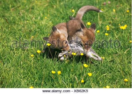 Le renard roux, Vulpes vulpes, louveteaux la chasse lapin européen, Normandie Banque D'Images